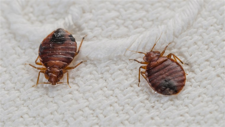 Getting Rid of Bed Bugs